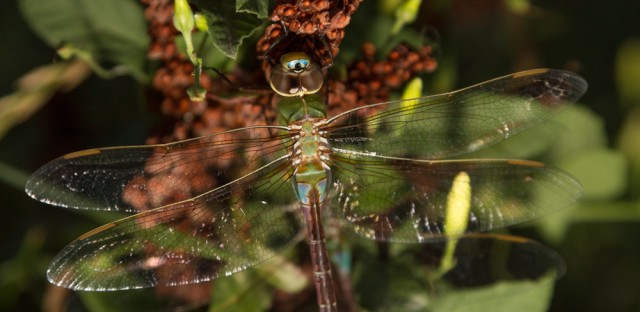 The Great Chicago Dragonfly Invasion, explained