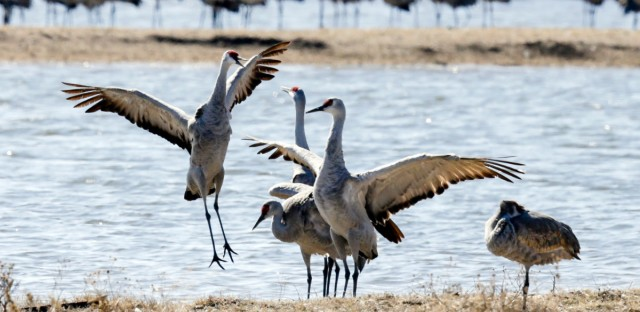In this March 15, 2018 image, Sandhill cranes dance near Gibbon, Neb.