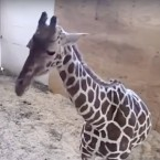 A screenshot from the YouTube livestream video of April the giraffe, who is set to give birth soon.