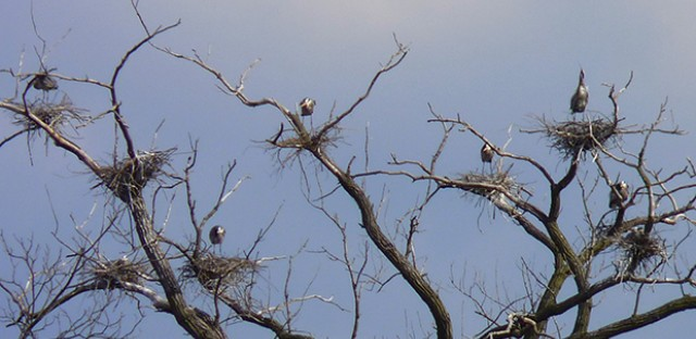 Blue Heron rookery: Photo of the Day - April 1, 2013