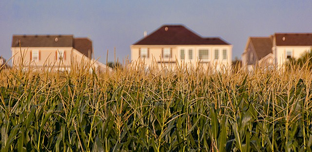 Exurban sprawl meets cornfield in Woodstock, Ill. Agriculture and suburban development are leading factors in the homogenization of local landscapes.