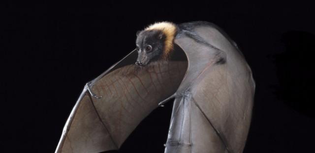 Worrisome Bat-Disease Map Shouldn't Make People Fear Bats