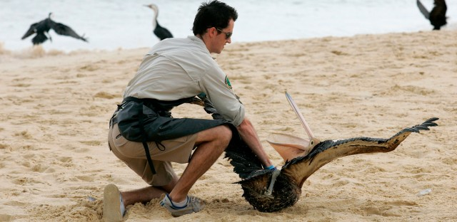 A nature conservation officer catches a pelican covered in oil on the beach on Moreton Island near Brisbane, Australia, Friday, March 13, 2009.
