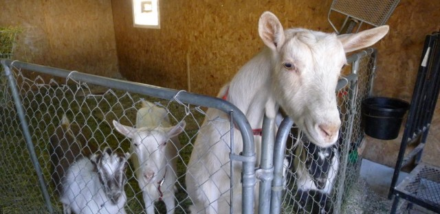 Carolyn Ioder's goats wonder whether microphones are edible.
