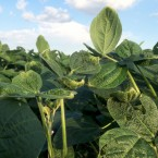 These soybean leaves show evidence of damage from dicamba. It could cut the the harvest by 10 to 30 percent.