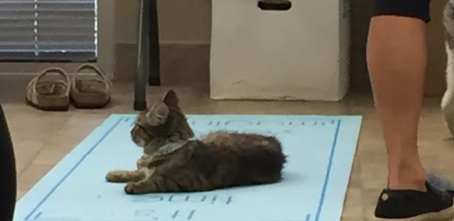 Sometimes a kitty steals a mat at cat yoga.