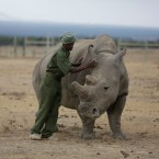 In this Friday, March 2, 2018 file photo, keeper Zachariah Mutai attends to Fatu, one of only two female northern white rhinos left in the world, in the pen where she is kept for observation, at the Ol Pejeta Conservancy in Laikipia county in Kenya. According to four new United Nations scientific reports on biodiversity released on Friday, March 23, 2018, Earth is losing plants, animals and clean water at a dramatic rate.