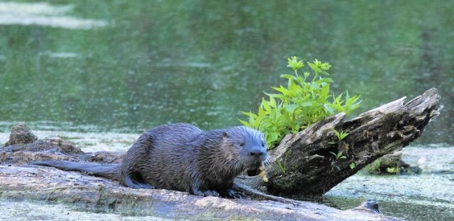 A river otter enjoying a snack at the Crabtree Nature Center in Barrington. (Jeff Nelson / Forest Preserve District of Cook County)