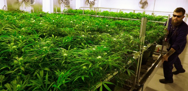 """Lead grower Dave Wilson cares for marijuana plants in the """"Flower Room"""" at the Ataraxia medical marijuana cultivation center in Albion, Ill."""