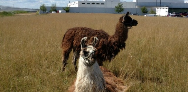 Herd of goats, llamas, sheep and burros are grazing around the O'Hare grounds