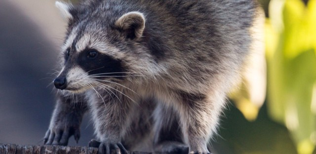 Weekend Edition Sunday : There's No Stopping Toronto's 'Uber-Raccoon' Image