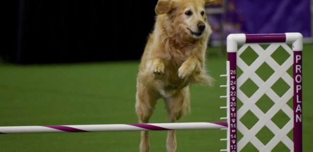 A Golden Retriever runs the agility course during the agility ring during the 3rd Annual Masters Agility Championship on February 13, 2016 in New York, at the 140th Annual Westminster Kennel Club Dog Show.