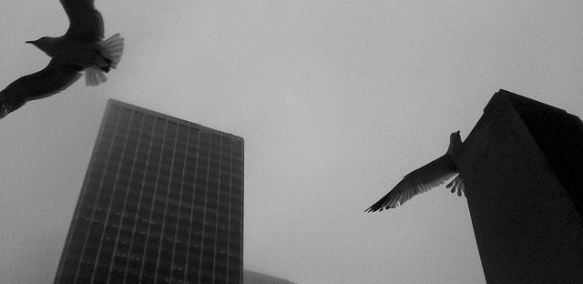 Birds flock near the Chicago River, Clark Street and Wacker Drive. Chicago's skyline kills more birds than any other in the country.