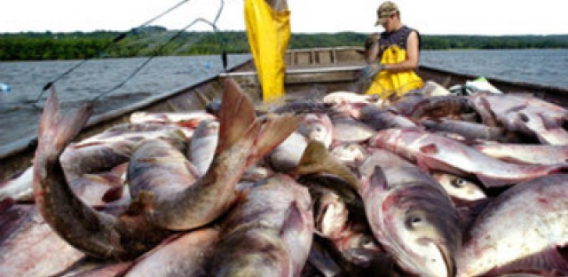 Asian carp have plagued the Great Lakes in recent years.