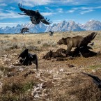 A grizzly bear fends off ravens from a bison carcass in Grand Teton National Park.
