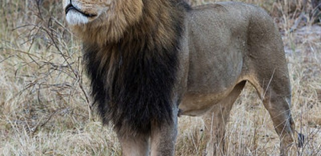 'Cecil the lion' and conservation