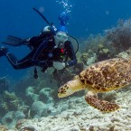 A Hawksbill sea turtle passes in front of a diver in this underwater photograph taken while scuba diving off the Caribbean island of Bonaire.
