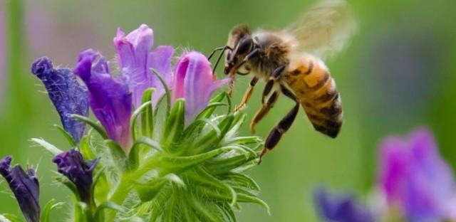 A honeybee gathering pollen from a flower.