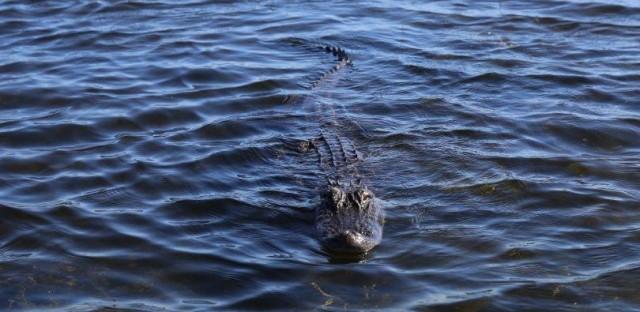 'Gator on Durham Creek, Berkeley County