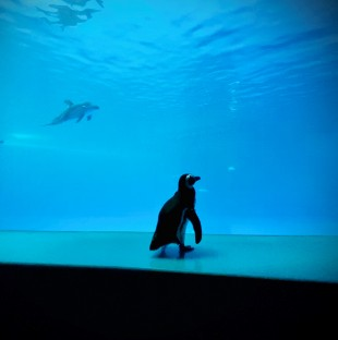 A penguin looks into a vast pool. There is a pair of dolphins swimming to his left.