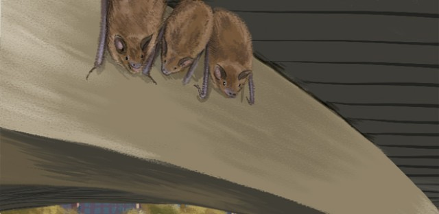 Little brown bat populations, illustrated above, have been decimated by white-nose syndrome in the northeastern U.S., but researchers have detected bat calls from them at the Lincoln Park Zoo's nature boardwalk.