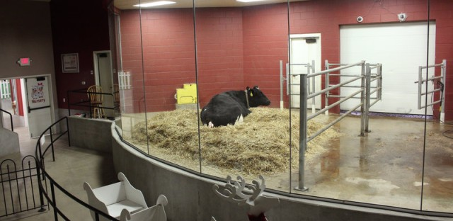 The amphitheater where visitors can watch cows give birth. Dan Charles/NPR