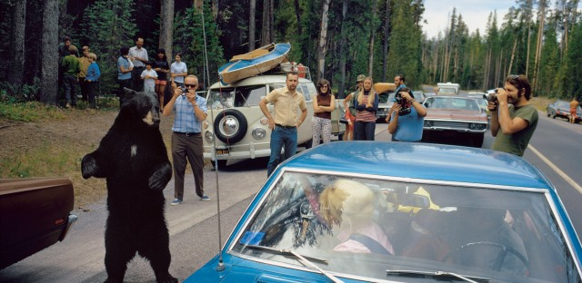 What wilderness means to people has steadily changed since Yellowstone was founded. The Park Service no longer tries to make tame spectacles of wild animals. But today, as in 1972 when this photo was taken, most visitors to the park never get far from the road and a black bear is still a reason to pull over.