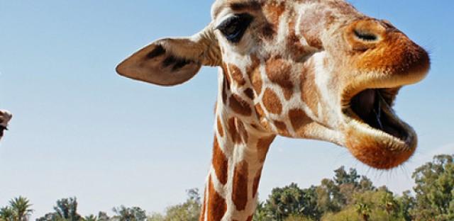 EcoMyths: What does a giraffe sound like?