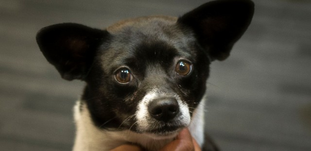 """Ray is one of many adorable dogs looking for a """"forever home"""" at PAWS Chicago."""