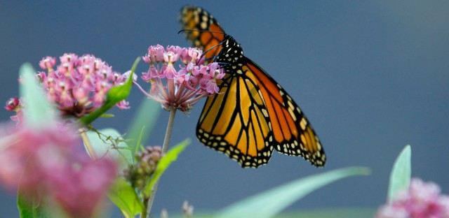 In this July 22, 2012 file photo, a monarch butterfly eats nectar from a milkweed plant.