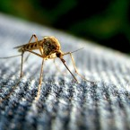 mosquito flickr