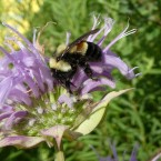 The rusty patched bumblebee was officially designated an endangered species March 21, 2017.