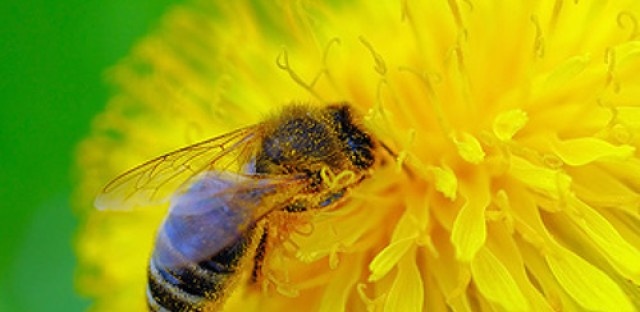 Honeybees dying off