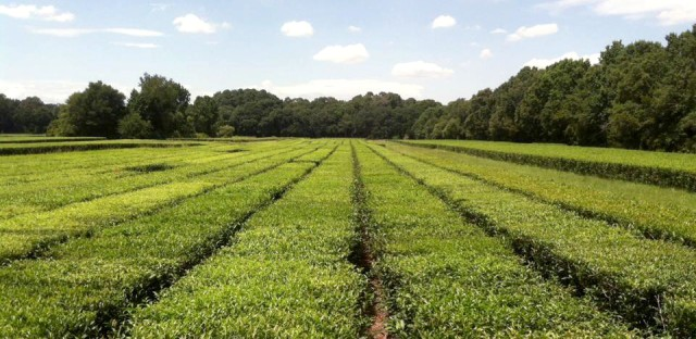 The only large-scale commercial tea plantation in the U.S. is located on Wadmalaw Island, S.C. It makes tea from bushes descended from plants first brought here in the 1700s.