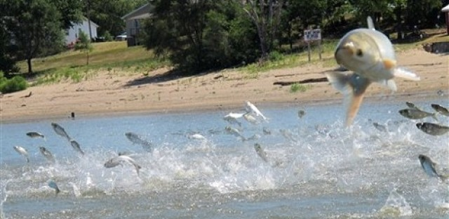 EcoMyths: Asian Carp invasion