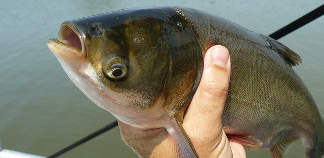 Silver carp, one of the several species collectively referred to as Asian carp. (Michigan Sea Grant/Dan O'Keefe)