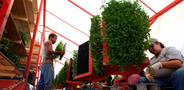 Migrant workers plant tomatoes