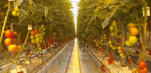 MightVine tomatoes are already in Chicago stores including Whole Foods.