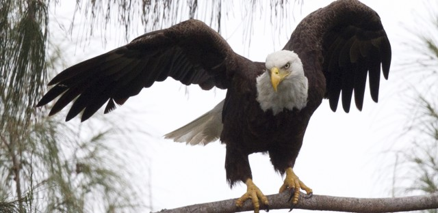 A bald eagle prepares to take off from a pine tree in Pembroke Pines, Fla. The eagle population rebounded after protections put in place under the Endangered Species Act.