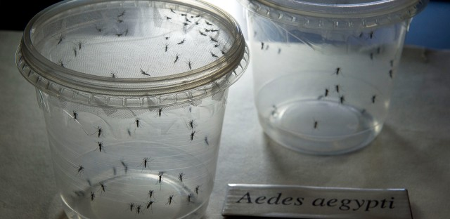 Aedes aegypti mosquitoes, seen in a lab at the Institute of Biomedical Sciences of the Sao Paulo University in Brazil, can carry the Zika virus.