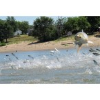 EcoMyths: Asian Carp invasion
