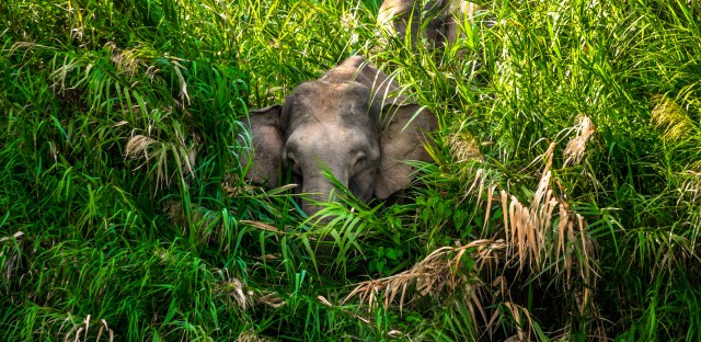 Borneo's Pygmy elephants are the smallest elephants in the world, standing only 8 to 10 feet tall. As the Borneo forest is cut down and replaced with palm oil plantations, its animals end up living near people, giving their viruses a chance to jump into us.