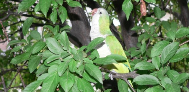 Tango, a rescued wild parakeet, sits in a tree.