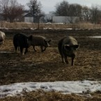 Hogs at Faith's Farm. (WBEZ/Monica Eng