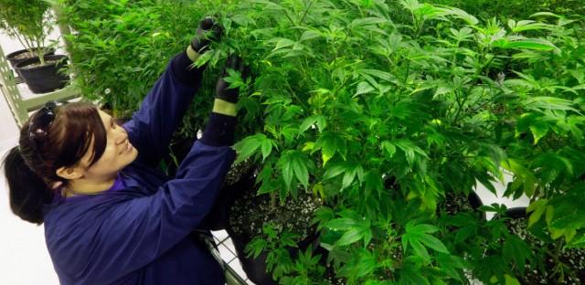 A grower inspects marijuana plants inside the Ataraxia medical marijuana cultivation center in Albion, Ill.