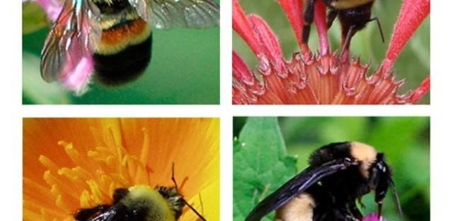 EcoMyths: Native Pollinators