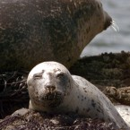 A young harbor seal lounges on top of seaweed near Cundy's Harbor, Maine, in 2000. As pupping season and Memorial Day weekend collide, New Englanders are being asked to stay away from seals.