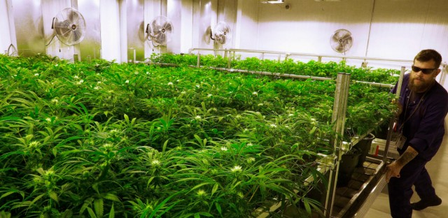 In this Sept. 15, 2015, file photo, lead grower Dave Wilson cares for marijuana plants at the Ataraxia medical marijuana cultivation center in Albion, Ill.