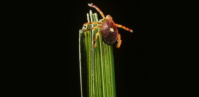 If you are bitten by a Lone Star tick, you could develop an unusual allergy to red meat. And as this tick's territory spreads beyond the Southeast, the allergy seems to be spreading with it.