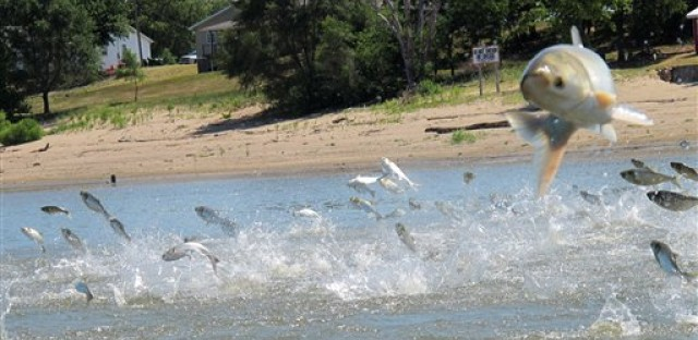 Asian Carp, jolted by an electric current from a research boat, jumping from the Illinois River near Havana, Ill. Scientists on the Mississippi and Illinois rivers use electric currents to stun fish so they can be scooped up and examined.
